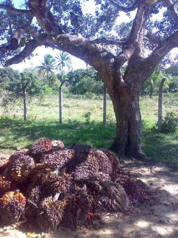 Palma_aceitera_fruto